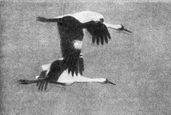 Фото №3 - Журавль - птица редкая