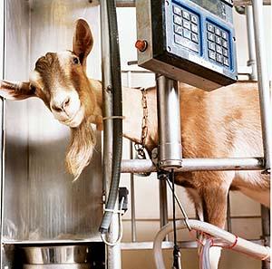 Фото №1 - Выведены козы, защищающие от нервно-паралитического газа