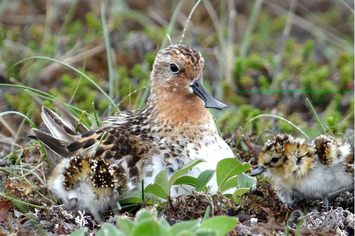 Фото №1 - Арктические птицы могут погибнуть из-за глобального потепления