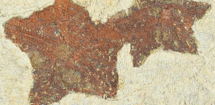 Фото №1 - В Марокко найдена окаменелость древнего родственника морской звезды