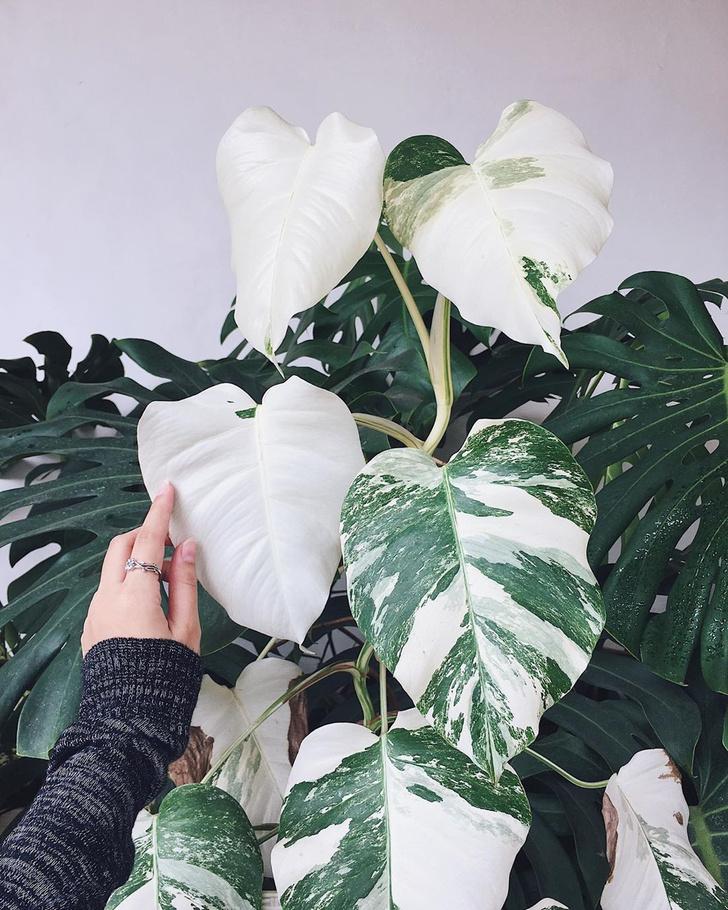Фото №3 - Тренды 2020: самые модные комнатные растения