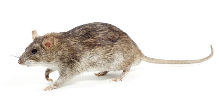 Фото №3 - Прогрызая путь: как устроено крысиное общество и чем оно похоже на человеческое