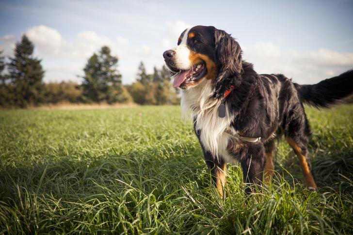 Фото №10 - 5 пород собак-долгожителей и 5 самых недолговечных
