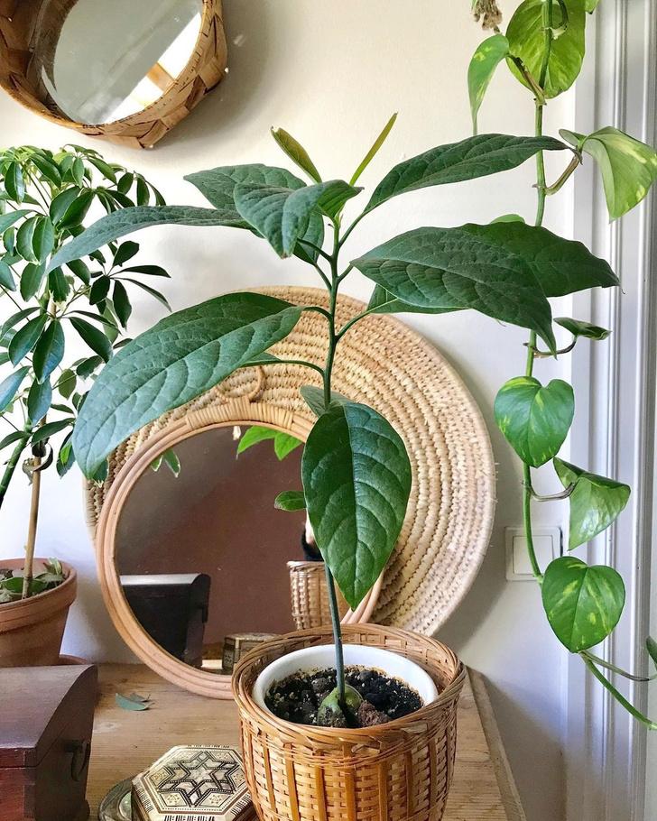 Фото №5 - Как вырастить авокадо у себя дома: практические советы