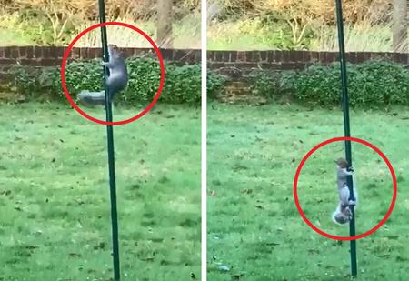 Белка лезет к кормушке по скользкому столбу, смазанному специально, чтобы она по нему не лазила (видео)