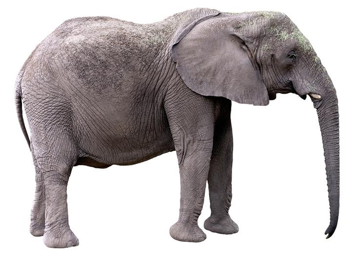 Фото №2 - Зоология: почему слоны не летают