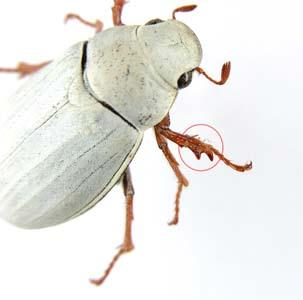 Фото №1 - Самый белый жук на свете