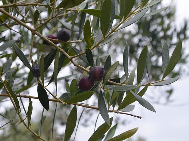 Фото №4 - Секреты выбора и хранения оливкового масла от греческих экспертов