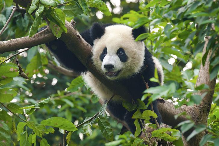 Фото №1 - Большая панда больше не считается исчезающим видом