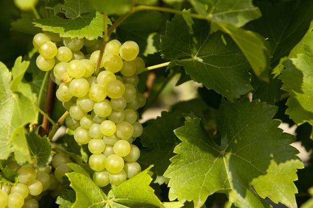 виноград экстра