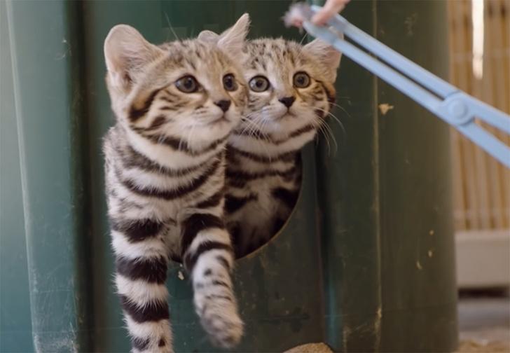 Фото №1 - Прирожденные убийцы. Зоопарк показал кормление одних из самых эффективных хищников в мире (видео)