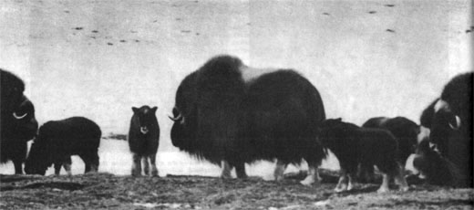 Фото №2 - Рядом с овцебыками