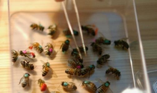 Фото №1 - Пчелы кусаются на здоровье