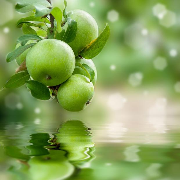 Фото №1 - Зеленые яблоки помогают предотвратить ожирение