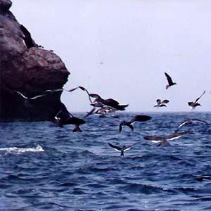 Фото №1 - Птицы не гнездятся на шотландских скалах
