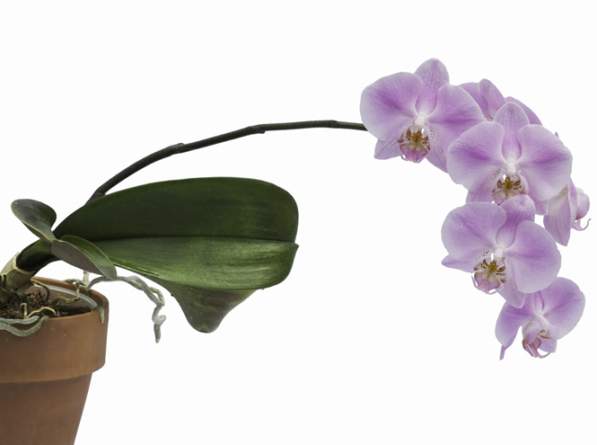 Фото №6 - 5 сортов самых красивых и неприхотливых орхидей
