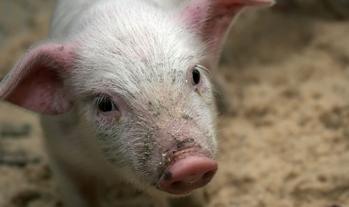 Фото №1 - Африканскую чуму свиней обещают держать под контролем