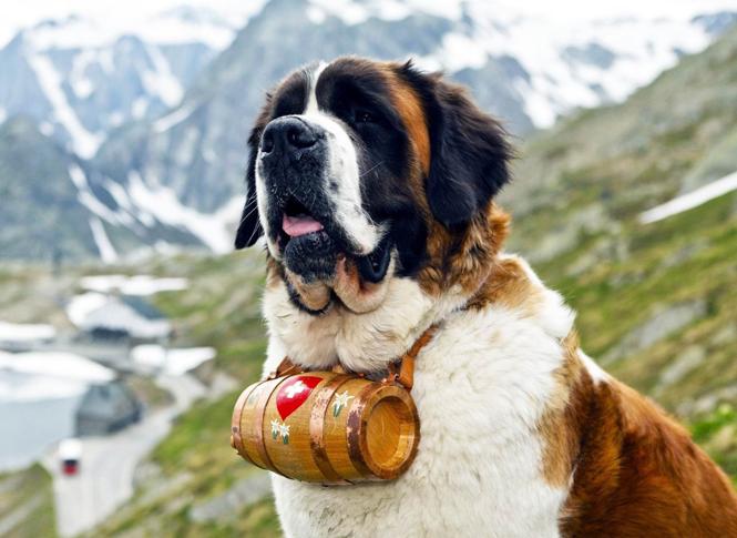 Фото №1 - Swatch посвятил одну из своих моделей часов собачкам швейцарской породы Сенбернар