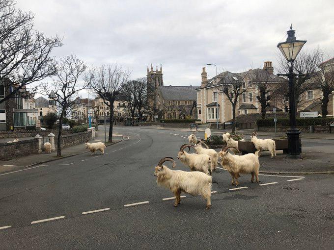Фото №1 - В Уэльсе из-за карантина город захватили дикие козлы