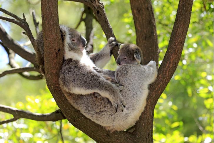 Фото №1 - Пьют ли коалы воду?