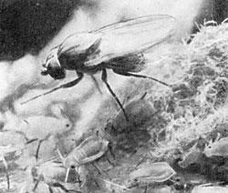 Фото №2 - Кто и как доит насекомых