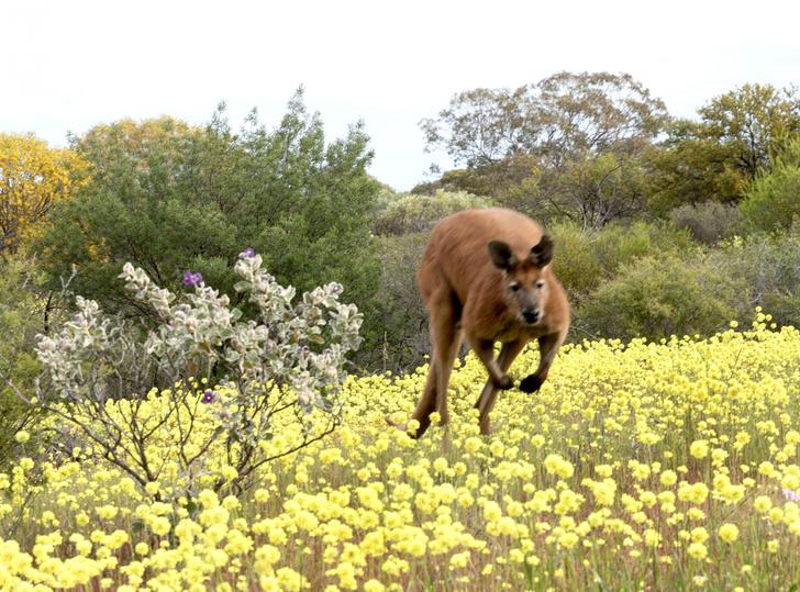 Фото №1 - Когда начали прыгать кенгуру
