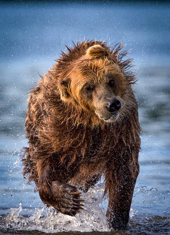 Фото №1 - Медведь только кажется неуклюжим и громоздким
