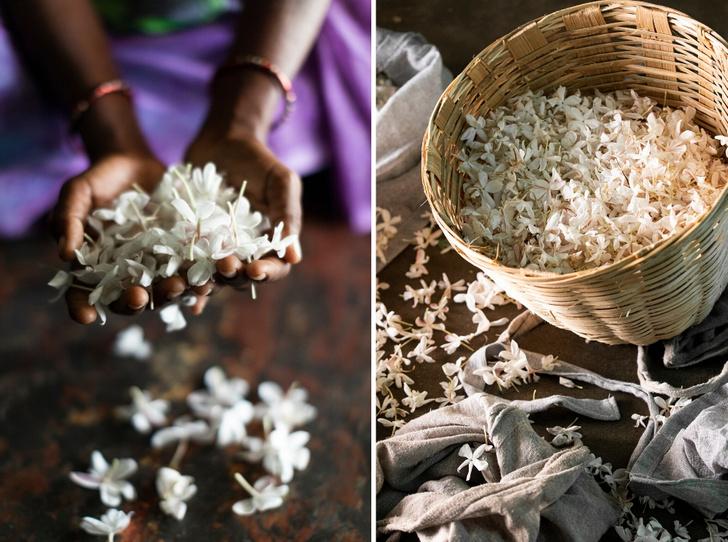Фото №1 - Как жасмин поможет улучшить экологию, парфюмерию и социальное благополучие?