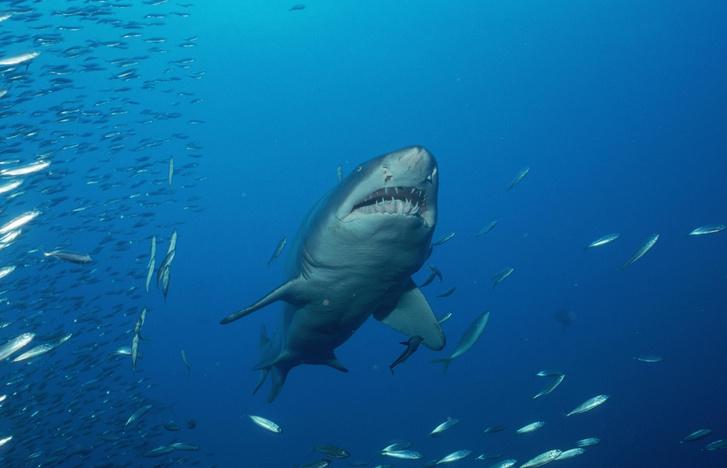 Фото №1 - Создание вакцины от COVID-19 угрожает популяции акул