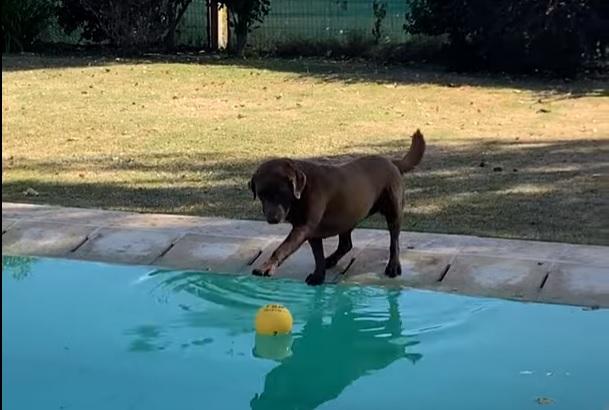 Фото №1 - Пес очень хочет поиграть с мячом из бассейна, но при этом не хочет промокнуть (видео)