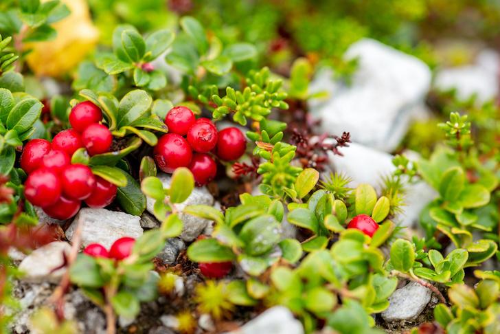 Фото №7 - Лесные и болотные самоцветы: северные ягоды во всей красе