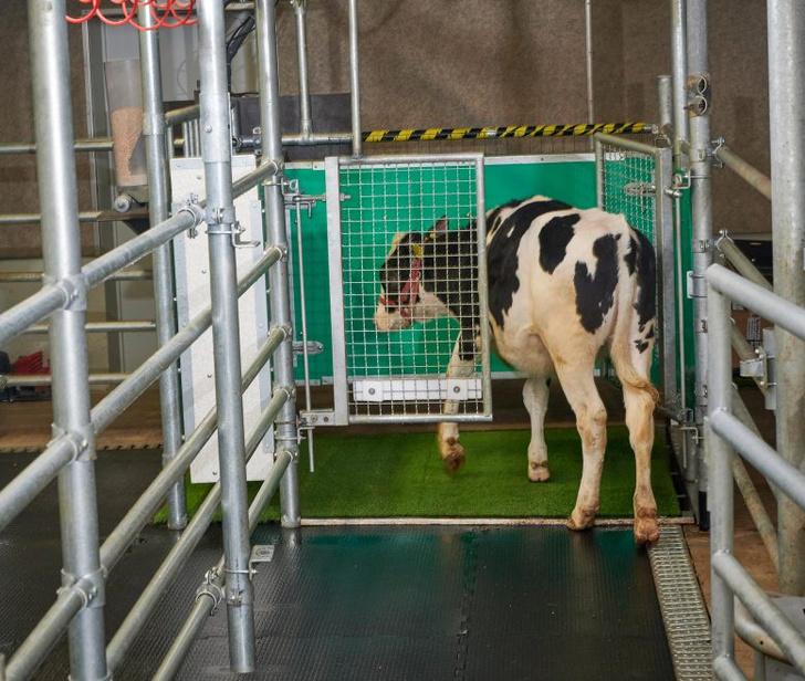 Фото №1 - Ученые приучили коров к туалету