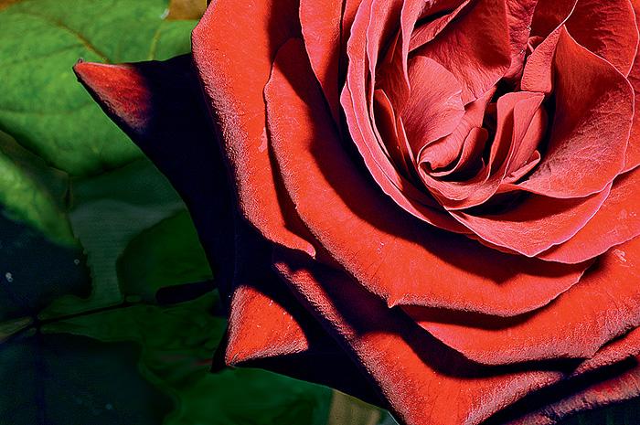 Фото №1 - 10 занимательных фактов о розах