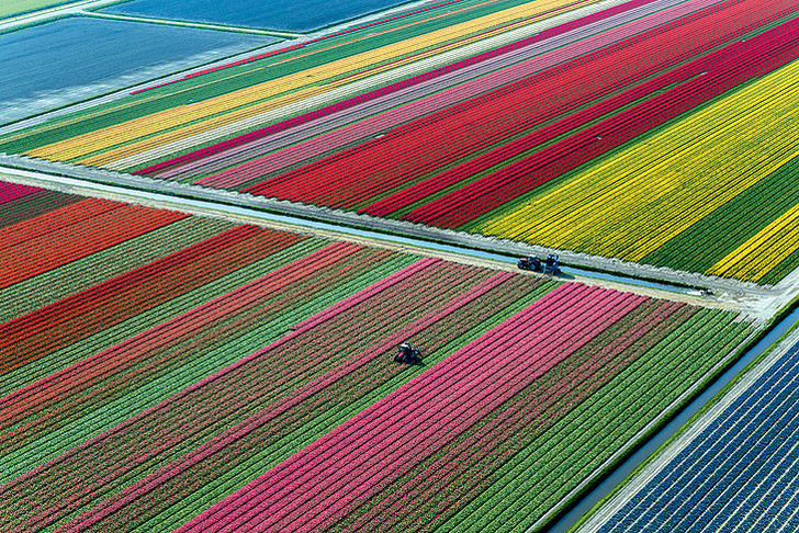 Фото №2 - Как тюльпаны стали национальным достоянием Нидерландов