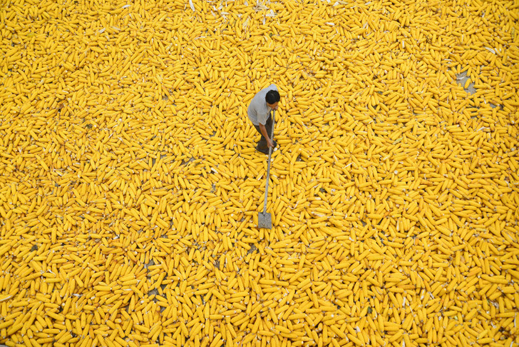 Фото №1 - Год кукурузы