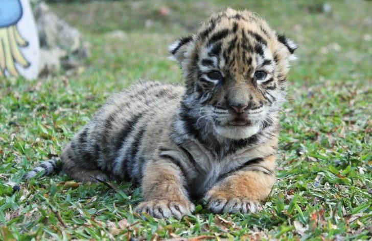 Фото №1 - В мексиканском зоопарке появился тигренок COVID
