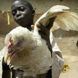 Фото №1 - Птичий грипп проник в Африку