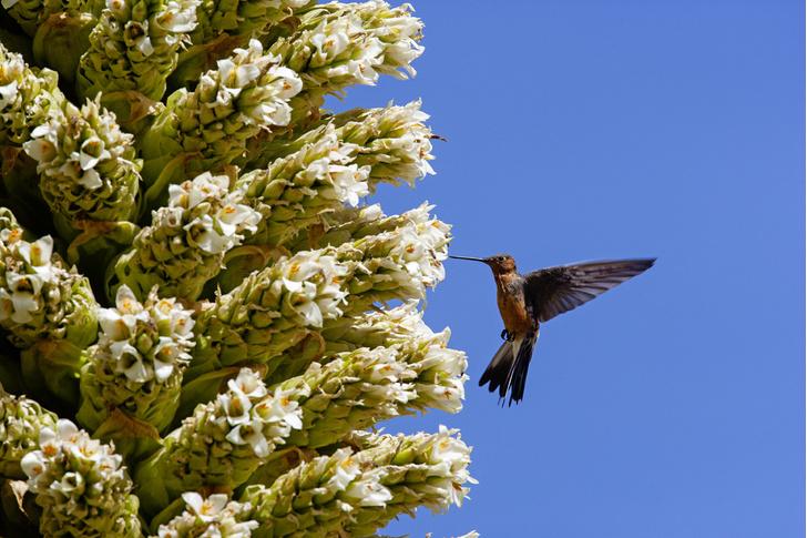 Фото №3 - Маленькая жизнь: как колибри стали настоящими супергероями