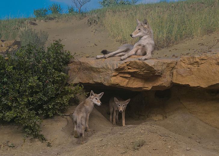 Фото №1 - Индейцы смогли приручить койотов