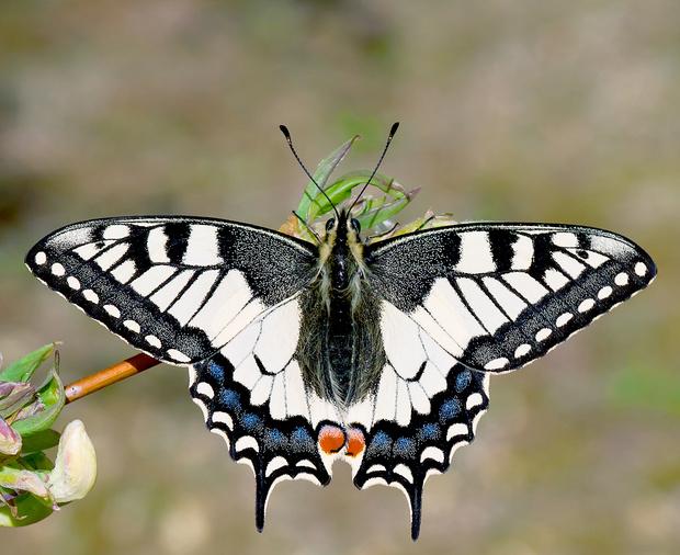 Фото №3 - 10 бабочек, крылья которых похожи на полотна импрессионистов