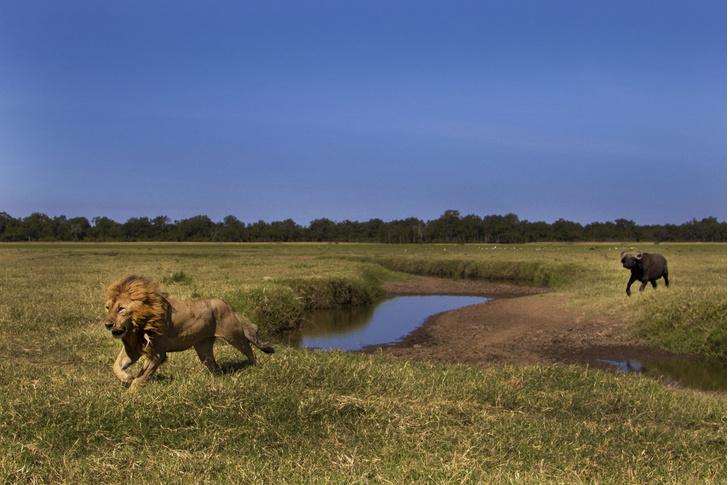 Фото №1 - Побег льва