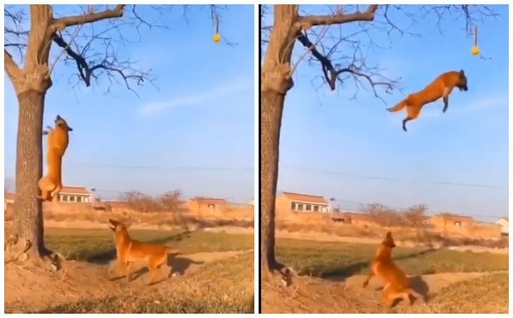 Фото №1 - Собака показывает другой собаке, как она умеет взбегать на дерево и «летать» с высоты (видео)