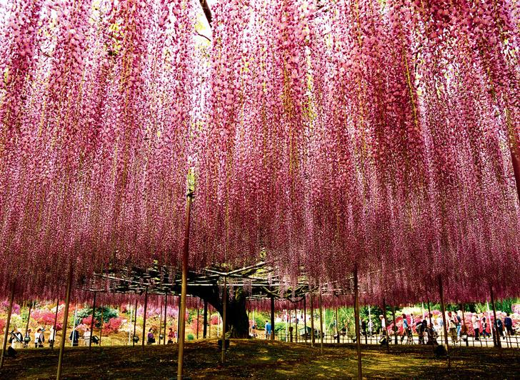 Фото №1 - Япония. Цветение фудзи