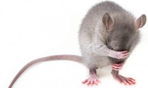 Фото №1 - Мыши-алкоголики помогут американским ученым найти способ борьбы с пристрастием к спиртному