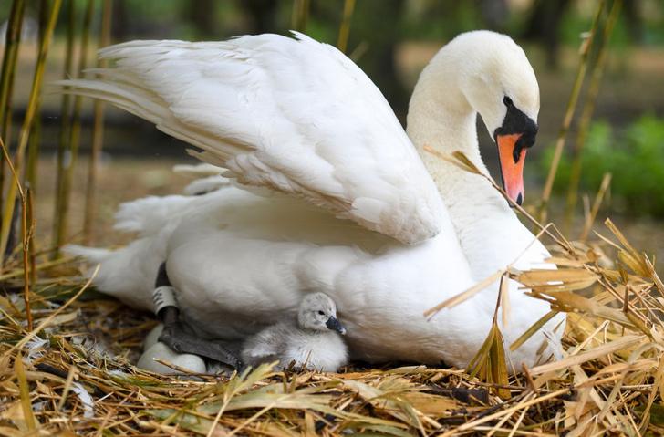 Фото №1 - Первые лебеди