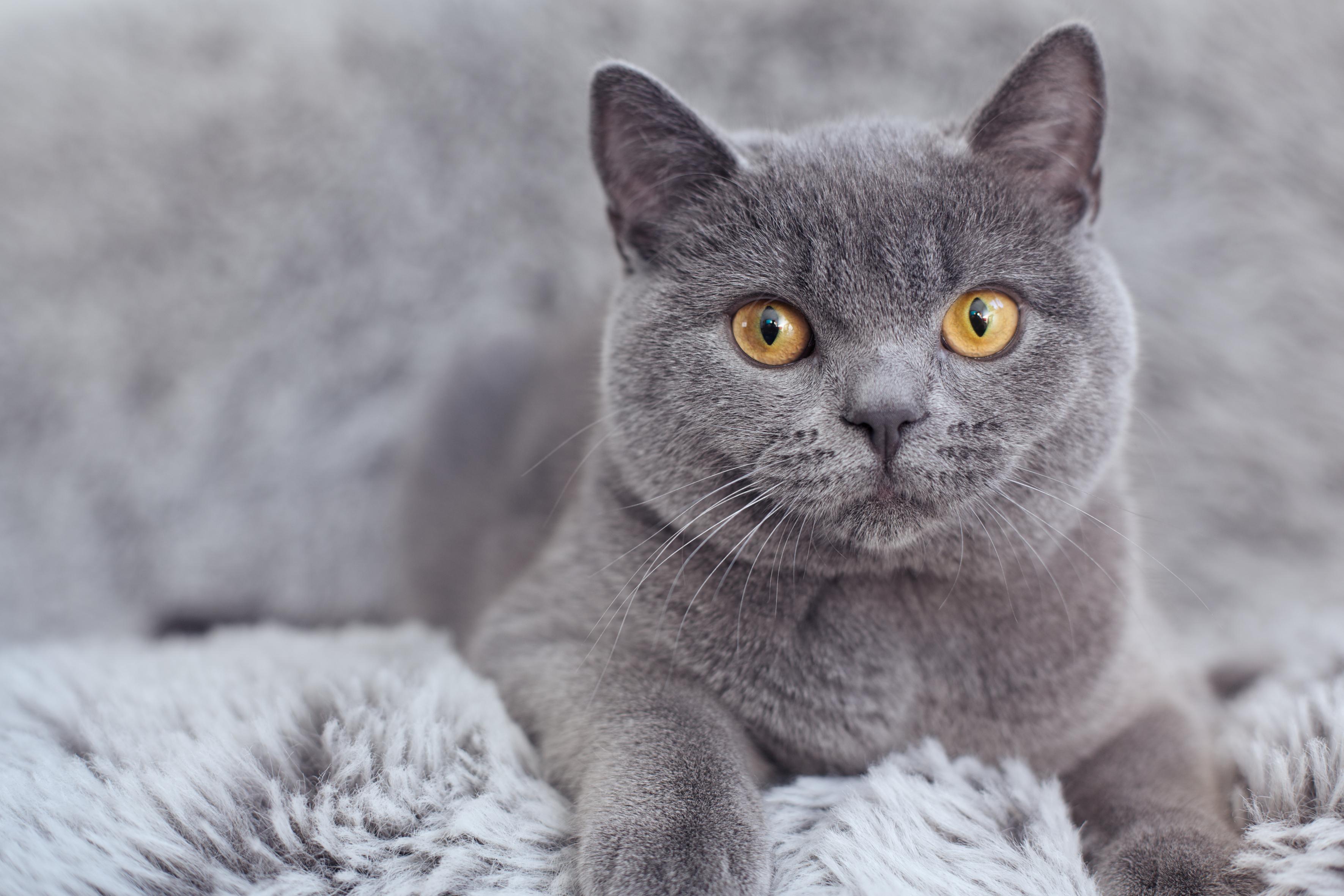 как выглядит кот британец