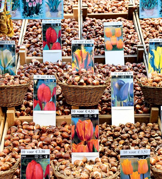 Фото №4 - Как тюльпаны стали национальным достоянием Нидерландов