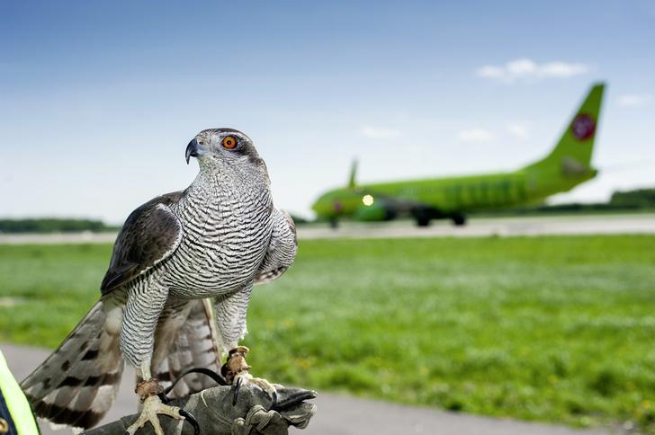 Фото №1 - Авиационные орнитологи: ястреб спасает самолеты