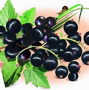 Фото №1 - Черная смородина — самая полезный фрукт