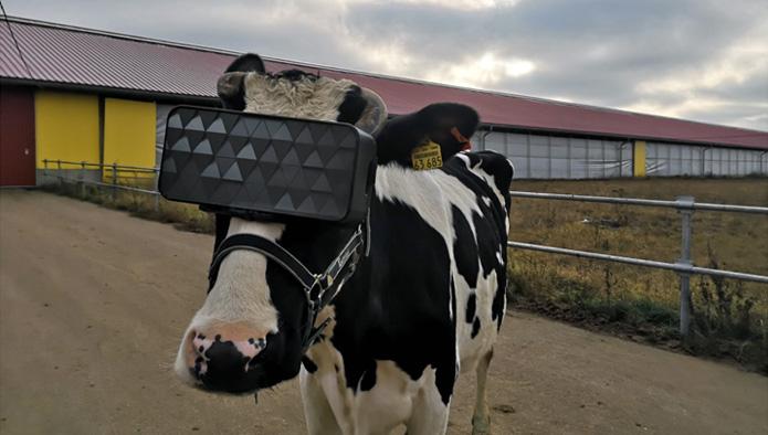 Фото №1 - В Подмосковье протестировали VR-очки для коров